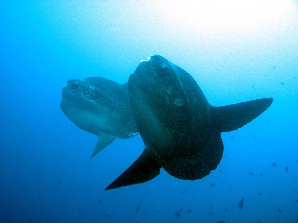バリ島ヌサペニダマンボウの大きさ