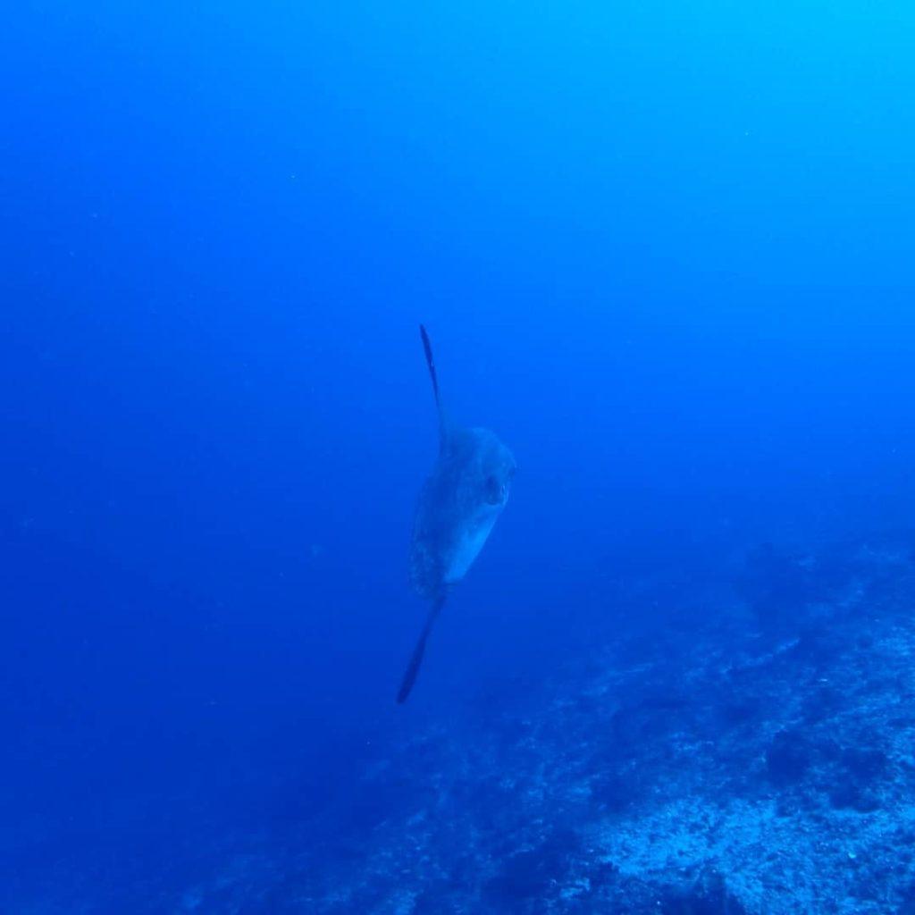 バリ島クリスタルベイのマンボウ