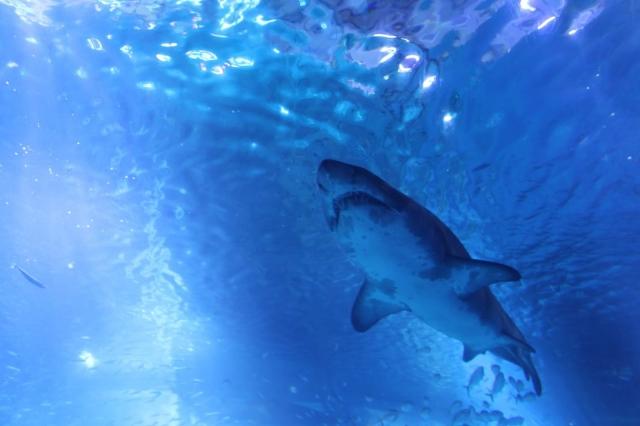 海の捕食者サメ